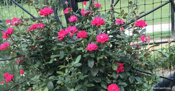 Blooming Knock out roses, when do they start flowering?