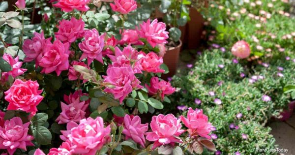 Flowering Knockout Roses can attract bugs