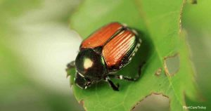 How To Get Rid of Japanese Beetles on Knockout Roses