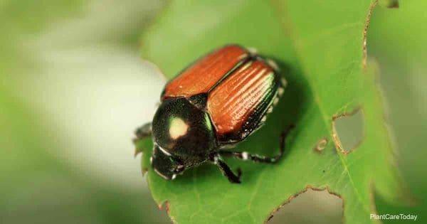 Japanese beetle eating rose leaf