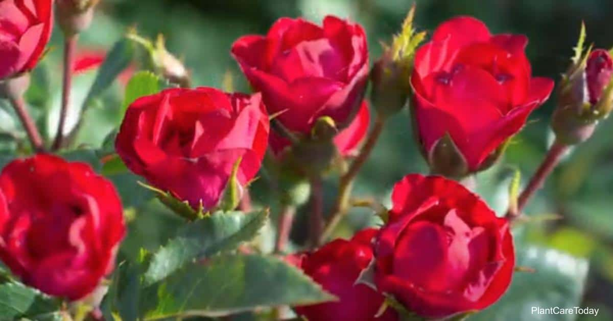 Bright red Petite Knockout Rose blooms