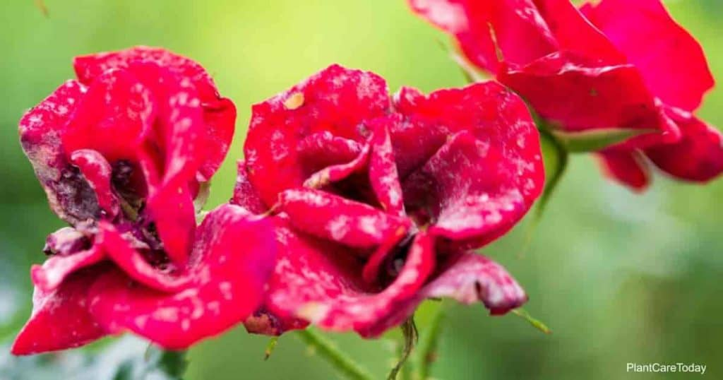 powdery mildew on knockout roses