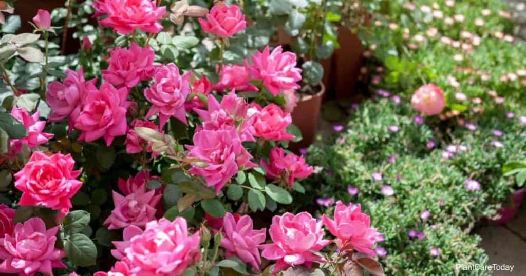 "Blooming shrub of ""Pink Double Knock Out"" roses"