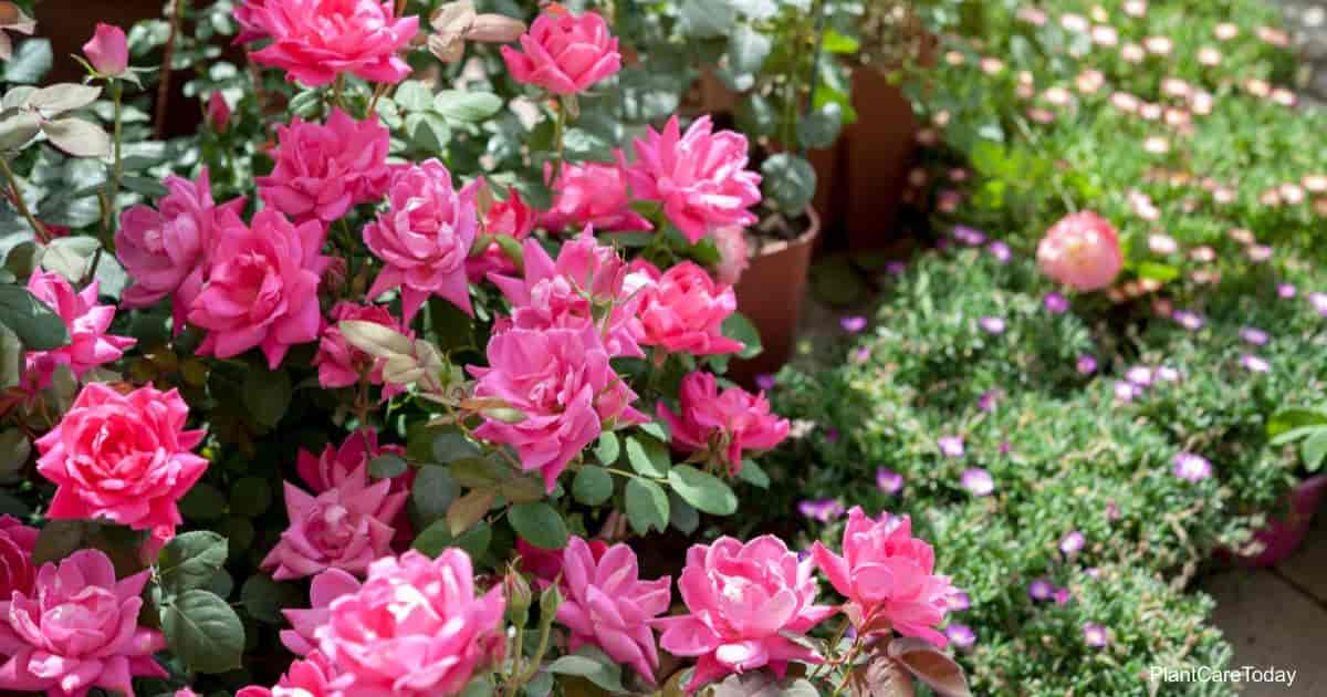 """Blooming shrub of """"Pink Double Knock Out"""" roses"""