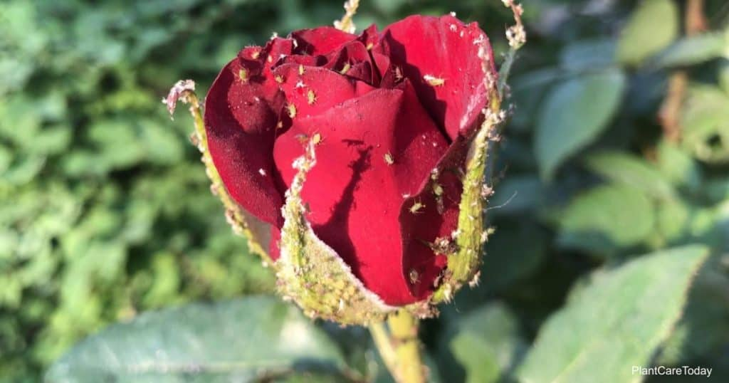 aphids feeding on rose bloom