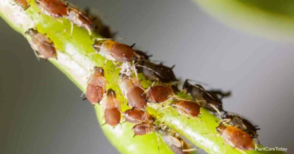 One of the many types of aphids feeding on plants
