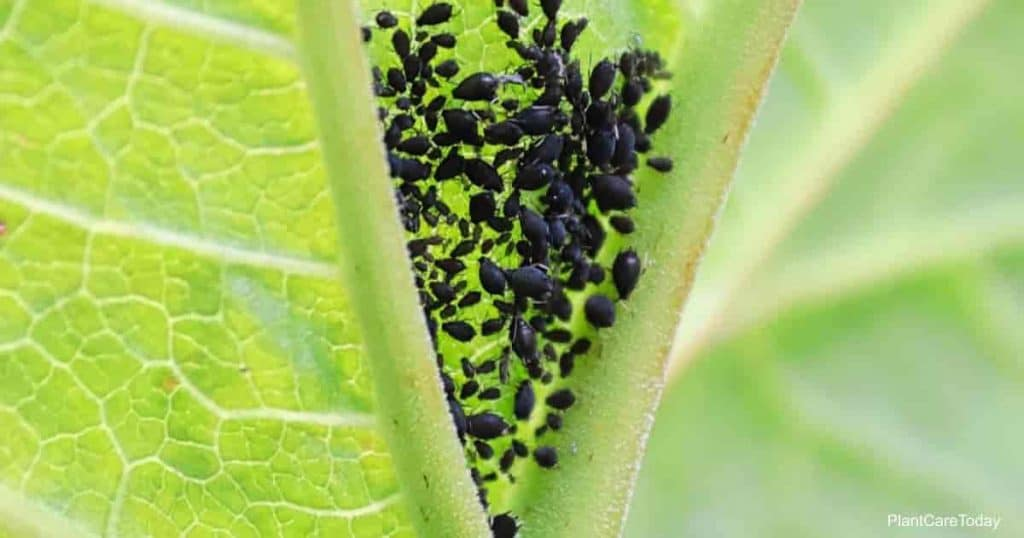 Black aphids feeding in the corner of a leaf