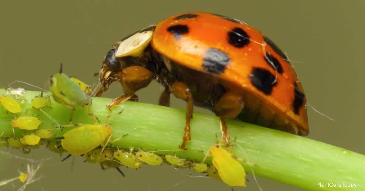 Ladybug dining on aphids, but what else do they eat?