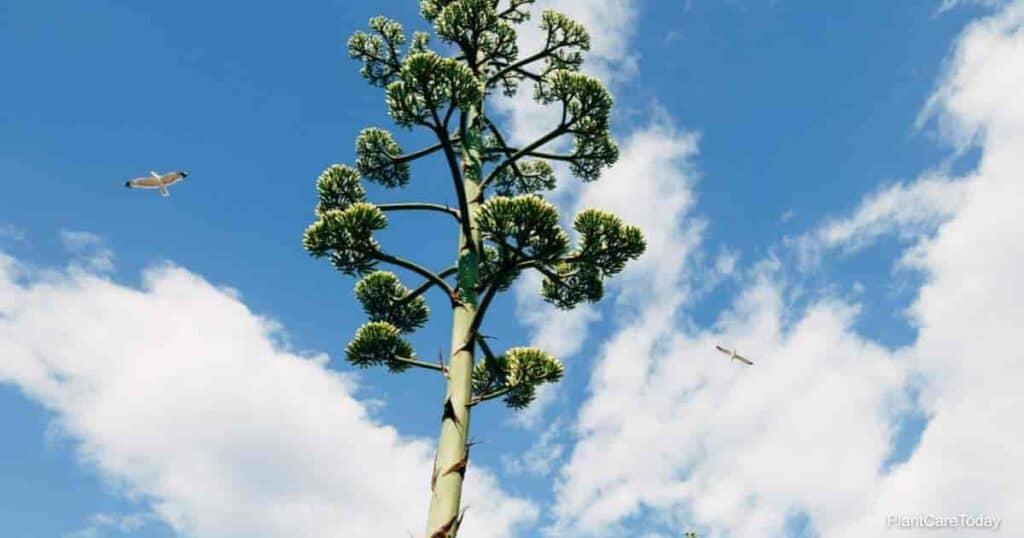30 feet tall Agave bloom