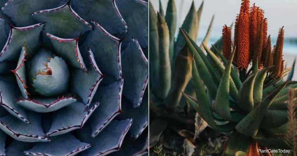 Agave plants and Aloe plants