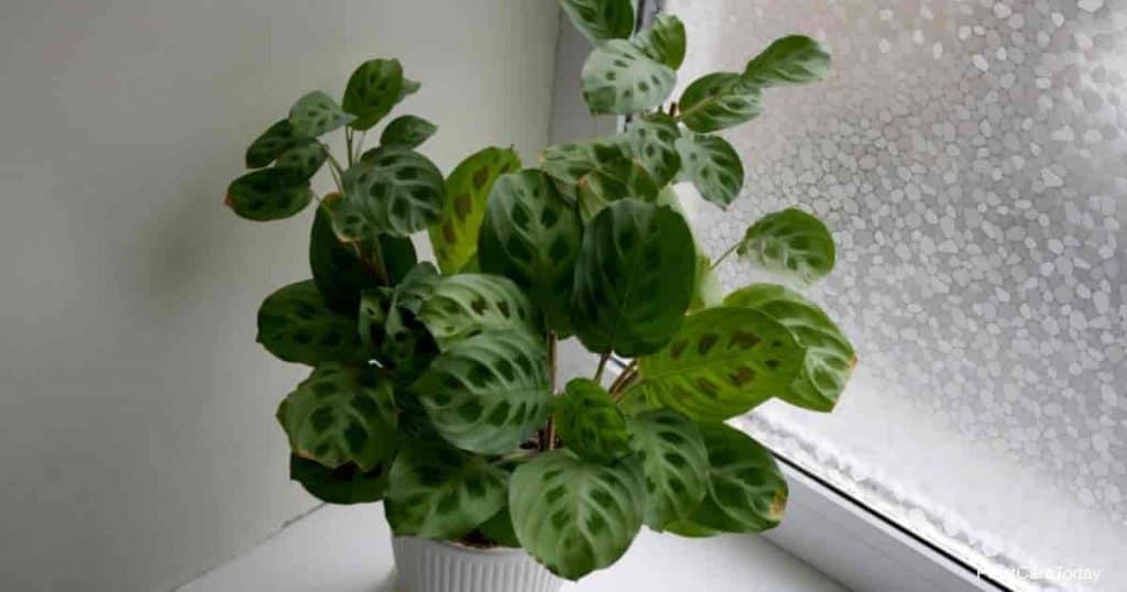 Prayer plant in white ceramic pot near window