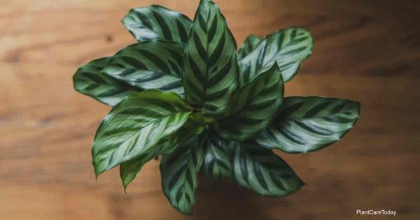Calathea concinna Freedie potted with attractive zebra like patterns on leaves