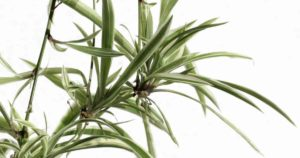 How To Propagate Spider Plant Babies
