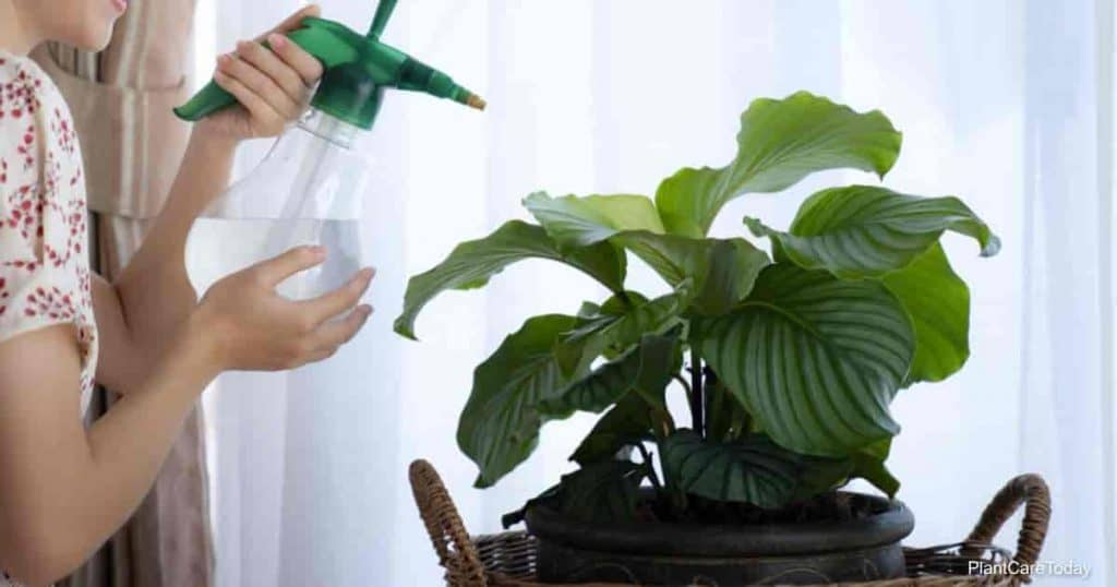 correct calathea watering uses the right water
