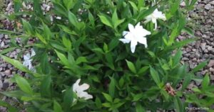 Tips on Growing Gardenia Frostproof Plants