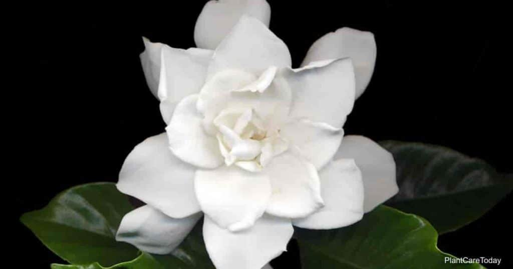 Bloom of the popular August Beauty Gardenia