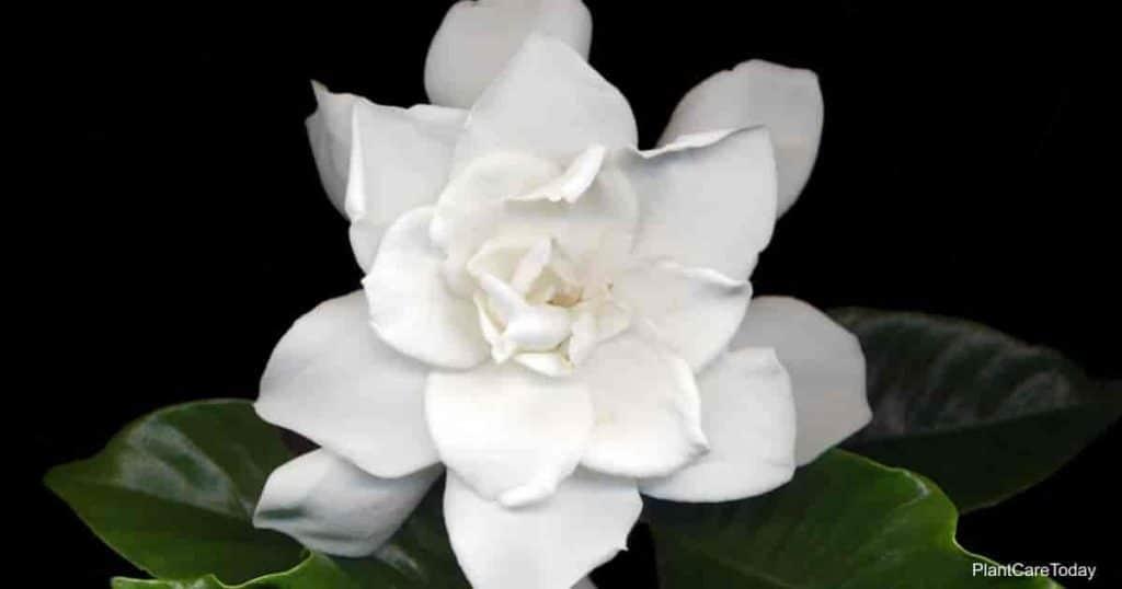 Florece por la popular August Beauty Gardenia