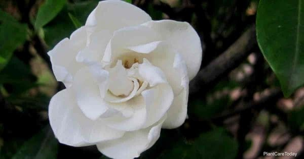 Bloom of the everblooming Gardenia veitchii
