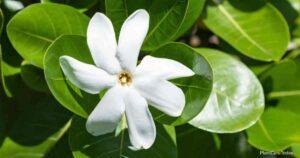 Tahitian Gardenia Plant Growing and Care