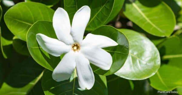 Tahitian Gardenia taitensis