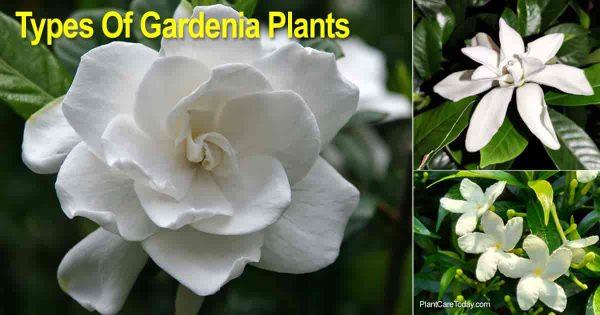 Flowers of several types of gardenia varieties