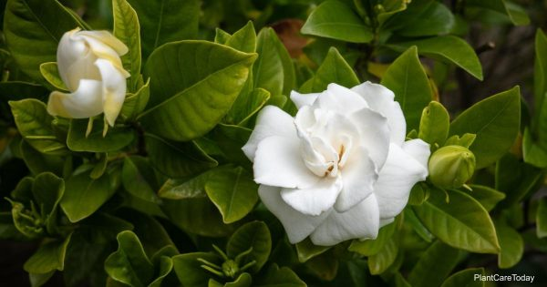 What kind of soil for Gardenia plants