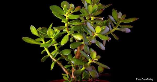 Controlling mealybugs on Jade Plant