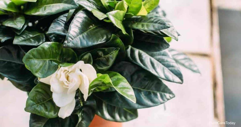 gardenia light requirements