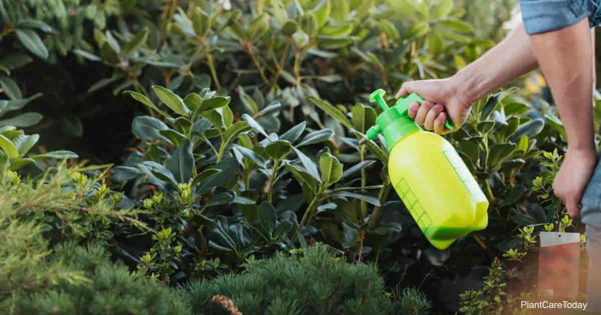 Gardener spraying plants in garden with Neem