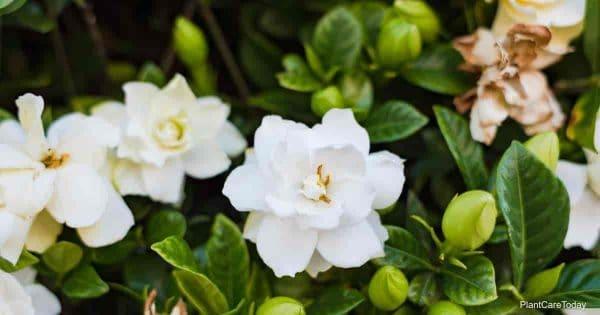 gardenia diseases