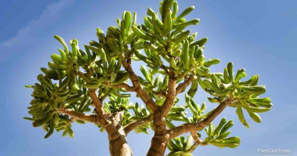 Jade plant growing outdoors