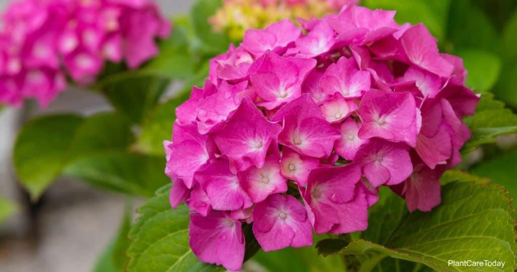 Blooms on Hydrangea plant
