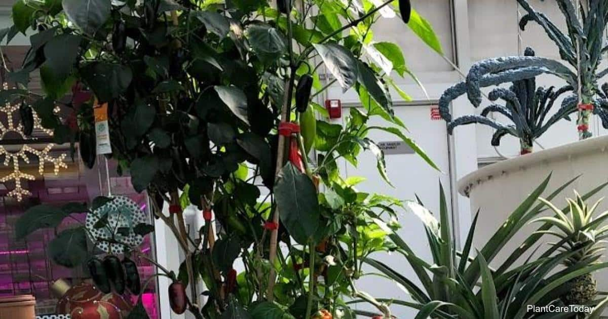 what is eating pepper plant at night