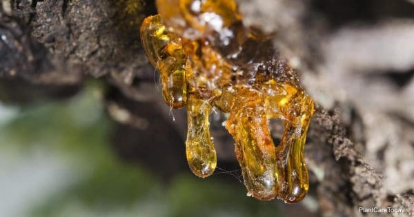 Tips on getting tree sap from clothes