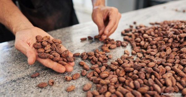 Cocoa beans before the hulls become a mulch