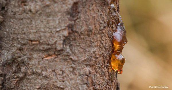 pine sap running from tree