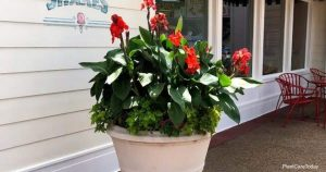 How To Store Canna Lily Bulbs
