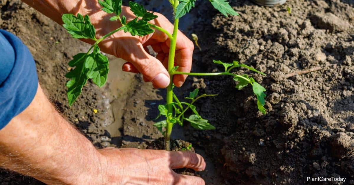 how far apart to space tomato plants?