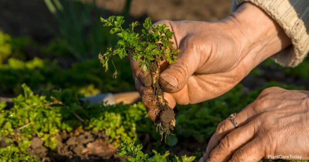 thinning seedling lets you pick strongest