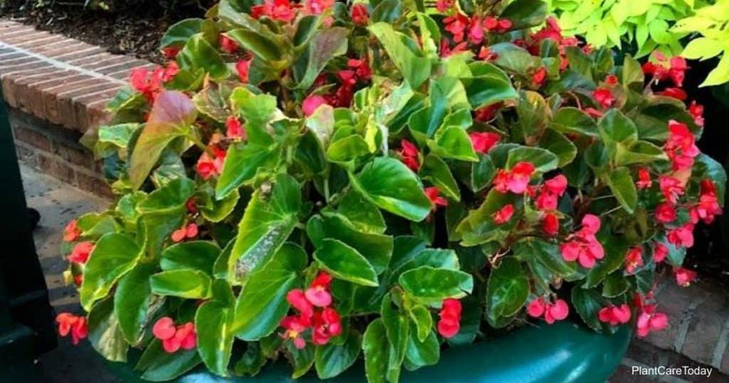 Flowering Begonias