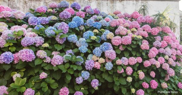 Lower soil pH with vinegar and turn Hydrangea flowers blue