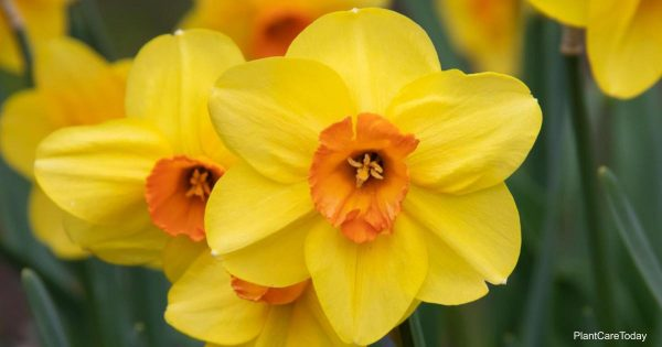 Flowering Daffodil bulbs How to store them