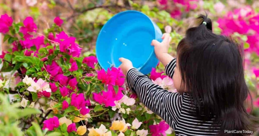 Young girl watering Bougainvillea
