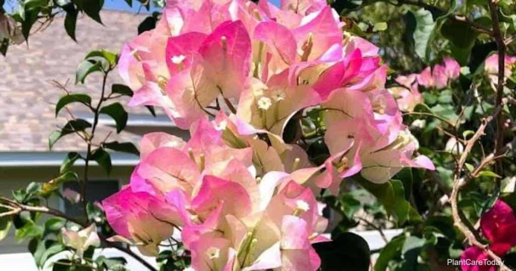 Buganvílias em flor