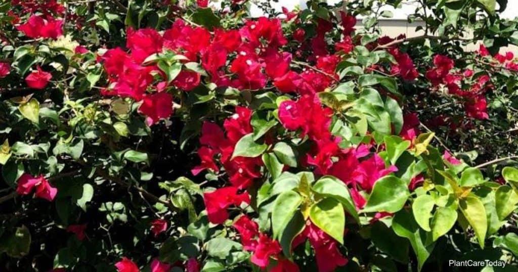 Proper Bougainvillea watering helps produce beautiful blooms