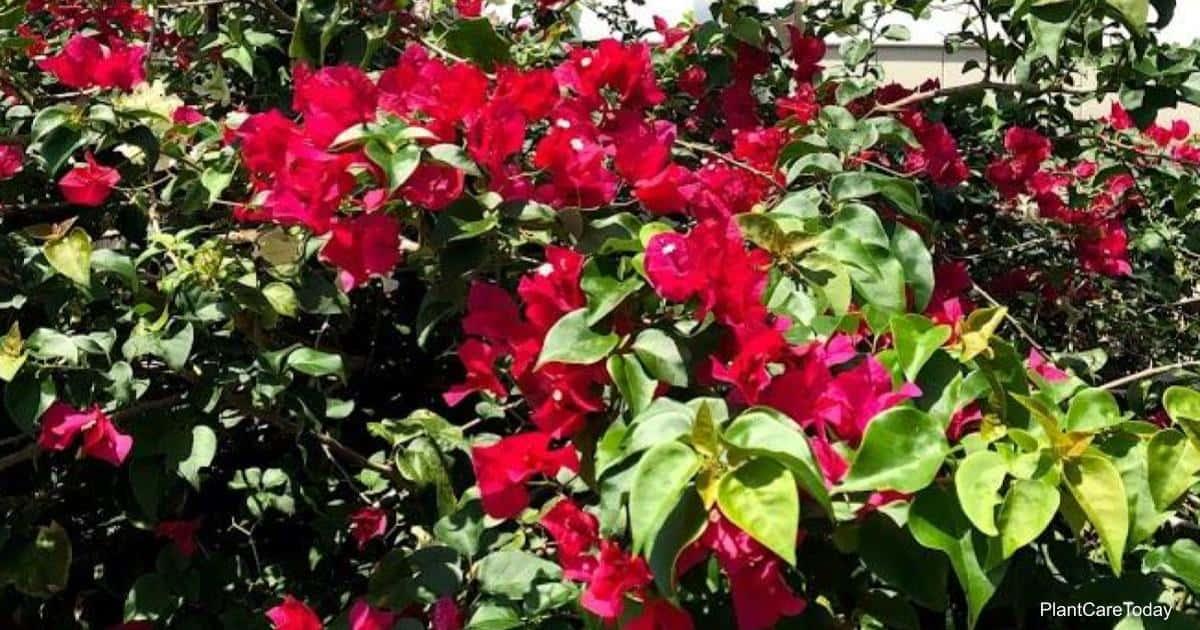 Proper Bougainvillea watering produces beautiful blossoms