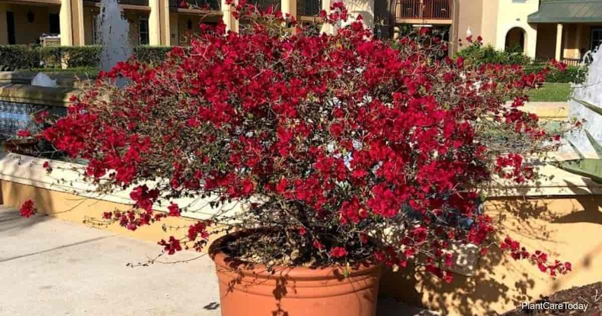 Blooming Potted Bougainvillea