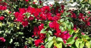 What Plant Pests Or Bugs Attack Bougainvillea?