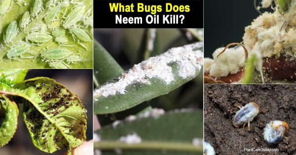 Neem oil kill many types of garden bugs