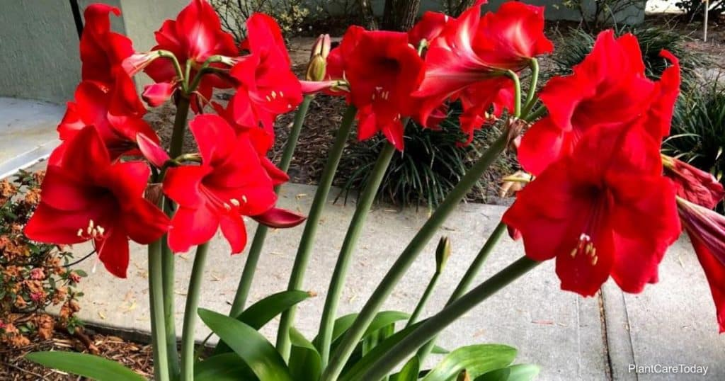 Blooming Amaryllis bulbs